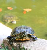 Red Earred Slider. A close up of a red eared slider basking in the mid day sun royalty free stock image