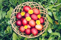 Red easter eggs on the grass with flowers and blowballs, natural Stock Photos