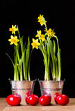 Red Easter eggs and yellow daffodils Stock Image