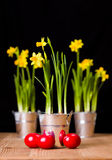 Red Easter eggs and yellow daffodils Stock Images