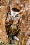 Red Eastern Screech Owl royalty free stock image