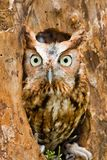 Red Eastern Screech Owl. Perched in a Log Stock Photography