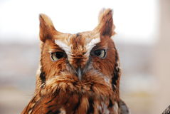 Red Eastern Screech Owl Stock Image