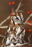Red Eastern Screech Owl Royalty Free Stock Images