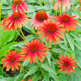 Red echinacea flowers Stock Images