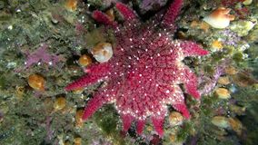 Red echinoderms on seabed of Barents Sea. Diving on background of blue lagoon and marine life in the cold Arctic Ocean stock video