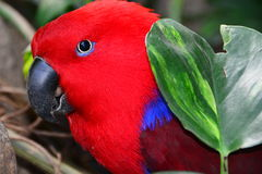 Red Eclectus Parrot Portrait Stock Photo