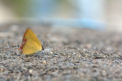 Red Edge yellow little butterfly in water Stock Image