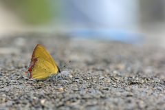 Red Edge yellow little butterfly in water Royalty Free Stock Photography