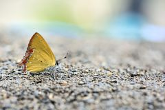Red Edge yellow little butterfly in water Royalty Free Stock Image