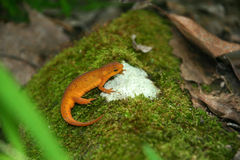 Red eft Stock Image