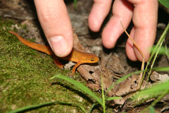 Red eft and hand Royalty Free Stock Photography