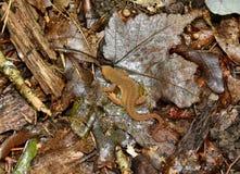 Red eft on leaf litter Stock Photography