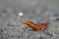 Red Eft Newt. A Red Eft Newt (Notophthalmus viridescens), the juvenile form of a Red-spotted Newt, on rocky substrate stock photos