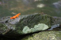 Red eft newt. Colorful red juvenile eft newt on rock, water in background Royalty Free Stock Photo