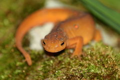 Red eft portrait. Red eft (Notophthalmus viridescens) on moss portrait royalty free stock images