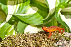 Red Eft Stock Photography