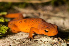 Red Eft Royalty Free Stock Images