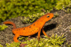 Red Eft Royalty Free Stock Photography