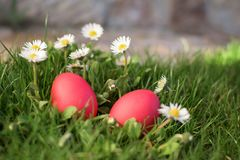 Red eggs and deisies Royalty Free Stock Photos