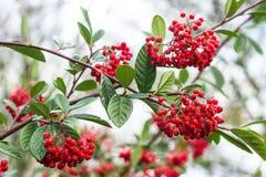 Red elder-berry on bush Stock Photo