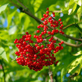 Red elderberry Stock Image
