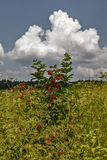 Red elderberry. Bush on a background of white clouds Royalty Free Stock Image