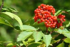 Red elderberry Stock Photos