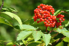 Red elderberry. (sambucus ebulus),drupe and leaves Stock Photos