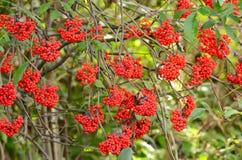 Red Elderberry. (Sambucus racemosa) the branches Royalty Free Stock Photo