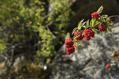 Red elderberry Royalty Free Stock Images