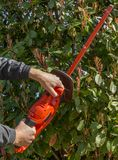 Red electric hedge trimmer held up by male hands against a background of leaves of Photinia in bloom royalty free stock photography