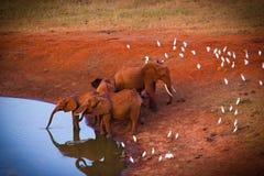 Red elepgants. Red elephants in tsavo kenia Royalty Free Stock Photos