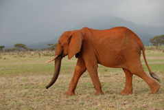 Red Elephant Stock Photography