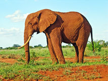Red elephant from Africa in savannah. A red elephant from Tsavo East national park (Kenya) walking in the savannah Royalty Free Stock Photography