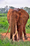 Red elephant from Africa Stock Image