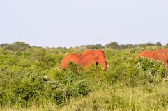 Red elephant in the brushwood Stock Image