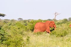 Red elephant in the brushwood Royalty Free Stock Images