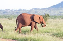 Red elephant grazing Stock Photography