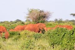 Red Elephant Herd Stock Photo