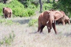 Red Elephant isolated Royalty Free Stock Image