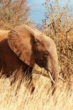 Red elephant in natural habitat in Kenya Royalty Free Stock Images