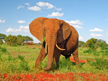 Red Elephant in savannah with blue sky. A red elephant watching you from Tsavo East national park (Kenya, Africa) with savannah background (red land and blue sky stock photo