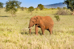 red elephant in the savannah Stock Images