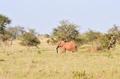 red elephant in the savannah Stock Photos