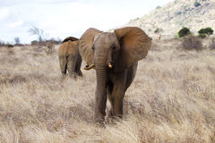 Red elephant of Tsavo. African bush elephant (Loxodonta africana) covered in red soil, Tsavo West National Park, Kenya royalty free stock photo