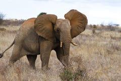 Red elephant of Tsavo. African bush elephant (Loxodonta africana) covered in red soil, Tsavo West National Park, Kenya Royalty Free Stock Photography