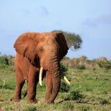 Red Elephant Tsavo East Kenya stock photo