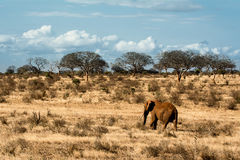 Red elephant walking alone in the African steppe royalty free stock photo