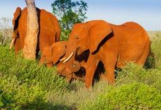 Red elephants in Tsavo National park Stock Photography